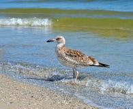 Grandes mouettes de la Mer Noire dans l'habitat naturel Image stock
