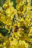 Grandes mullein e abelha Imagens de Stock