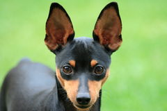 Grandes oreilles Images stock