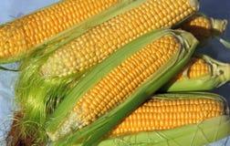 Grandes orelhas do milho amarelo maduro Imagens de Stock Royalty Free