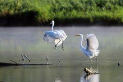 Grandes pájaros blancos de la danza de la mañana de la garceta (Ardea alba) Fotografía de archivo libre de regalías