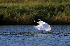Grandes pájaros blancos de la danza de la mañana de la garceta (Ardea alba) imagen de archivo libre de regalías