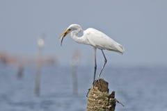 Grandes pájaros del albus del Casmerodius de la garceta que comen pescados Imagen de archivo libre de regalías