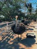 Grandes pássaros, avestruzes, agricultura, produção dos pássaros, pássaros fortes, exploração agrícola, produtos de carne, negóci fotografia de stock