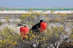 Grandes pássaros de fragata masculinos durante a estação de acoplamento Fotografia de Stock Royalty Free