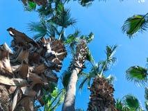 Grandes palmeiras imagens de stock