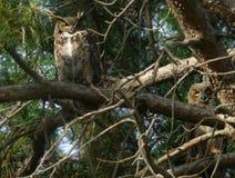 Grandes pares del búho de cuernos en ramas del pino ponderosa Fotos de archivo libres de regalías