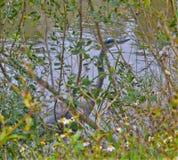 Grandes passeios da garça-real azul através do banco de rio pequeno que procura peixes ou insetos fotos de stock royalty free