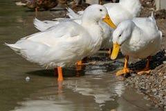 Grandes patos pesados brancos de Pekin Aylesbury na água pouco profunda imagem de stock royalty free