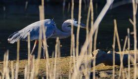 Grandes peaux d'un héron bleu derrière Marsh Reeds image stock