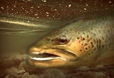 Grandes peixes da truta marrom que descansam na água pouco profunda imagens de stock