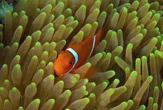 Grandes peixes do palhaço do recife de barreira (nemo) imagem de stock royalty free