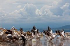 Grandes pelícanos blancos Foto de archivo libre de regalías