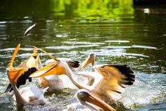 Grandes pelícanos blancos en agua Fotografía de archivo libre de regalías