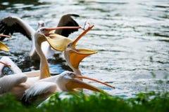 Grandes pelícanos blancos en agua Imagenes de archivo