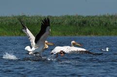 Grandes pelícanos blancos en el delta de Danubio Foto de archivo