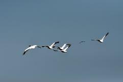 Grandes pelícanos blancos en el delta de Danubio Fotos de archivo