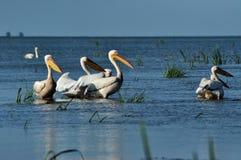 Grandes pelícanos blancos en el delta de Danubio Fotografía de archivo