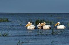 Grandes pelícanos blancos en el delta de Danubio Imagenes de archivo
