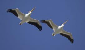 Grandes pelícanos blancos en vuelo Fotografía de archivo