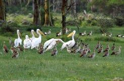Grandes pelícanos blancos hermosos y ganso egipcio Foto de archivo libre de regalías