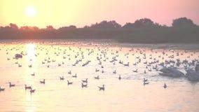 Grandes pelícanos blancos que forrajean en el agua con muchas gaviotas metrajes