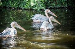 Grandes pelícanos blancos que nadan Foto de archivo libre de regalías