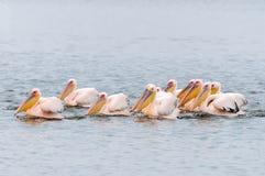 Grandes pelícanos blancos que nadan en la formación Imagenes de archivo