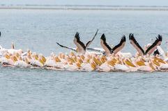 Grandes pelícanos blancos que nadan en la formación Fotografía de archivo libre de regalías