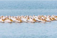 Grandes pelícanos blancos que nadan en la formación Foto de archivo