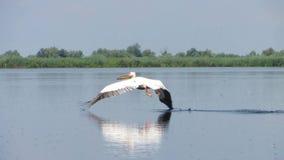 Grandes pelícanos blancos que vuelan en el delta de Danubio metrajes