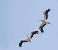 Grandes pelicanos brancos Foto de Stock