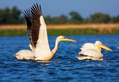 Grandes pelicanos brancos Imagens de Stock