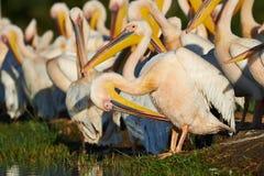Grandes pelicanos brancos Fotos de Stock