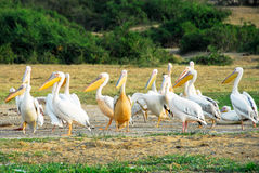 Grandes pelicanos brancos, canaleta de Kazinga (Uganda) Fotos de Stock