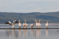 Grandes pelicanos brancos na frente dos flamingos imagens de stock royalty free