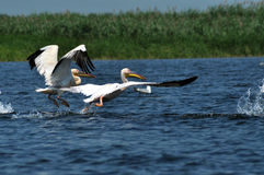 Grandes pelicanos brancos no delta de Danúbio Imagem de Stock