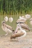 Grandes pelicanos brancos (onocrotalus do Pelecanus). Imagem de Stock