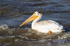 Grandes pelicanos brancos (onocrotalus do Pelecanus) que voam sobre ao norte canadense para acoplar-se no escravo River, corredei Imagens de Stock