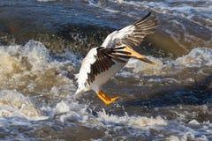 Grandes pelicanos brancos (onocrotalus do Pelecanus) que voam sobre ao norte canadense para acoplar-se no escravo River, corredei Fotos de Stock Royalty Free