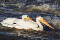 Grandes pelicanos brancos (onocrotalus do Pelecanus) que voam sobre ao norte canadense para acoplar-se no escravo River, corredei Fotografia de Stock