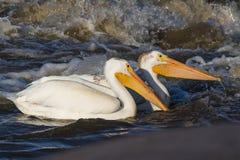 Grandes pelicanos brancos (onocrotalus do Pelecanus) que voam sobre ao norte canadense para acoplar-se no escravo River, corredei Foto de Stock