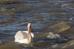 Grandes pelicanos brancos (onocrotalus do Pelecanus) que voam sobre ao norte distante para acoplar-se no escravo River, corredeir Imagem de Stock Royalty Free