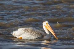 Grandes pelicanos brancos (onocrotalus do Pelecanus) que voam sobre ao norte distante para acoplar-se no escravo River, corredeir Fotos de Stock Royalty Free