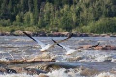 Grandes pelicanos brancos (onocrotalus do Pelecanus) que voam sobre ao norte distante para acoplar-se no escravo River, corredeir Imagens de Stock