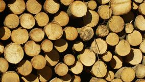 Grandes piles en bois des troncs d'arbre coup?s, rondins ronds Les for?ts impeccables ont infest? et ont attaqu? par le scarab?e  banque de vidéos