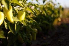 Grandes pimentas doces crescentes bonitas fotografia de stock royalty free