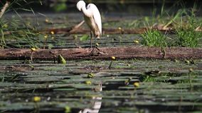 Grandes plumas blancas de la limpieza del pájaro metrajes