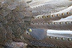Grandes plumas de argus Imagen de archivo