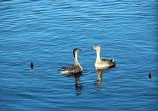 Grandes pollos del Grebe con cresta en el lago azul Fotografía de archivo libre de regalías